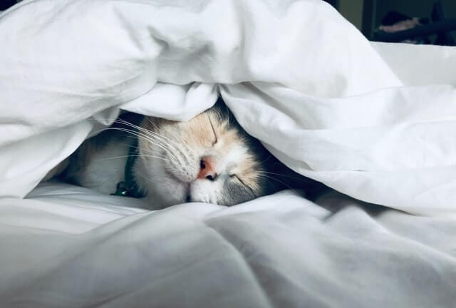 cat sleeping under blankets